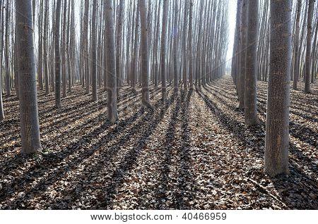 Poplar Forest In Fuente Vaqueros, Granada, Andalusia