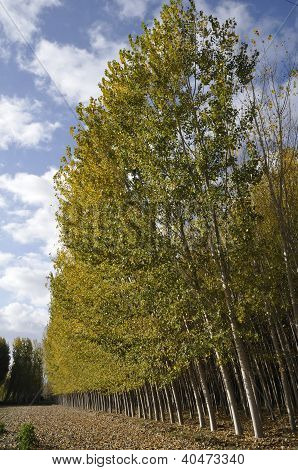 Poplar Forest in Fuente Vaqueros, Granada, Andalusia, Spain