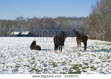 Horses In Snowy Winter.
