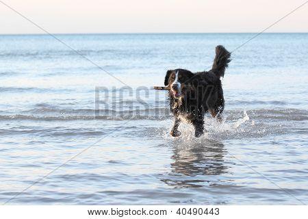 Burmese Mountain Dog Fetching a Stick at the Beach