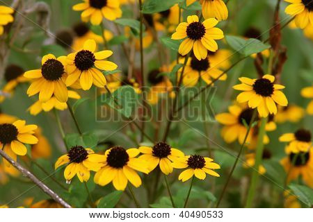 Narrow-leaved Sunflowers