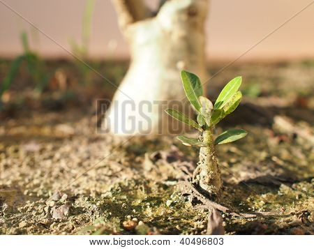 Little Impala Lily