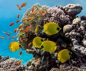 stock photo of shoal fish  - Shoal of fish on the fire coral - JPG