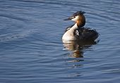 stock photo of great crested grebe  - Female Great Crested Grebe with two fluffy striped young grebe - JPG