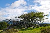 picture of tierra  - The most famous flag tree in Fireland  - JPG