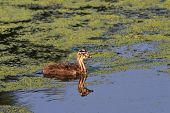 picture of great crested grebe  - juvenile great crested grebe  - JPG