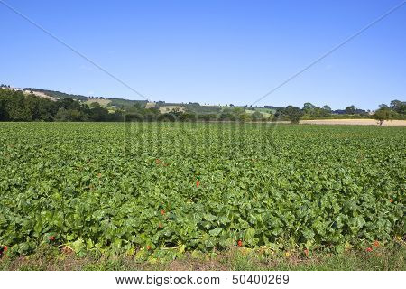 Mangold Field