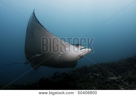 Spotted Eagle Ray In Current Cut