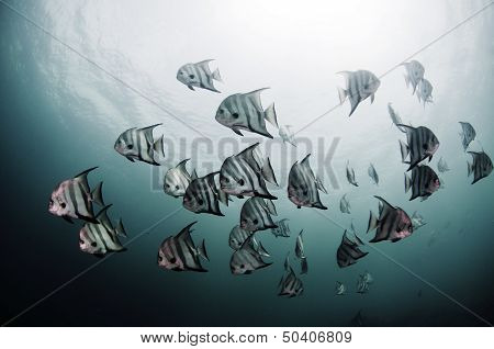 Atlantic Spadefish School