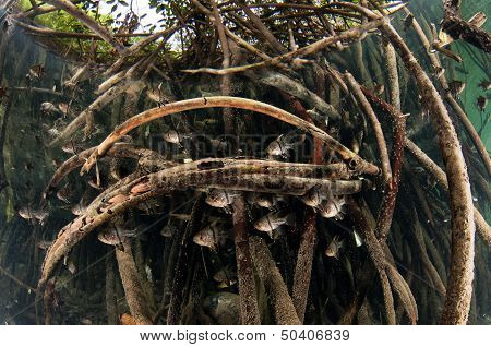 Orbiculate Cardinalfish in Mangrove Forest