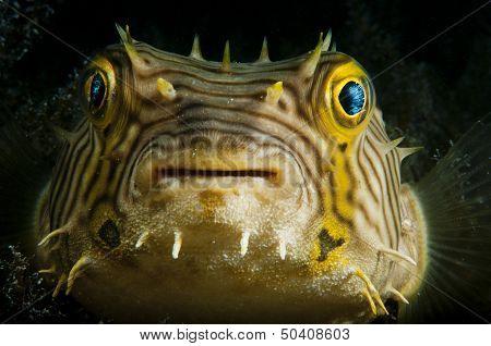 Smiling Puffer Fish