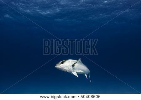 Greater amberjack fish underwater on clean blue background