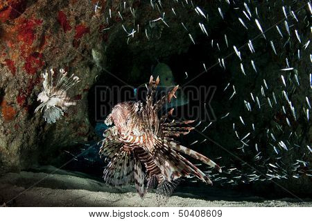 Invasive Lionfish Feeding