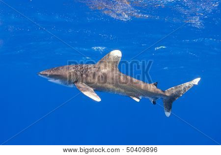 Oceanic whitetip shark in profile