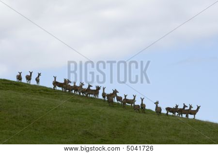 A Herd Of Hind (female Red Deer)