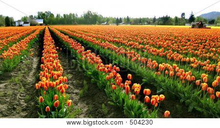 Rows Orange