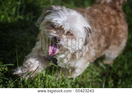Shih-tzu, Maltese, And Poodle Mix.
