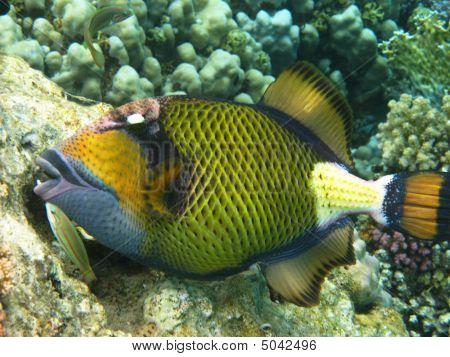 Titan Triggerfish