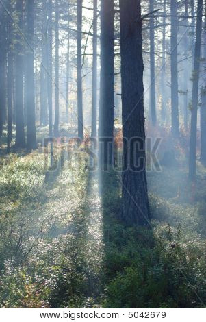 Mist In Pine Forest