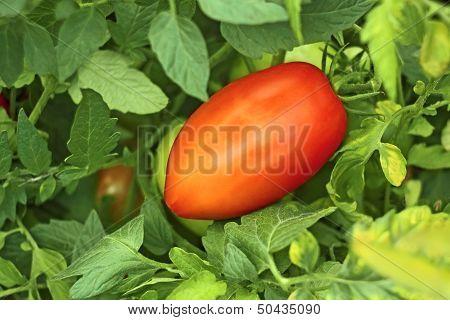 Red Tomato In Garden