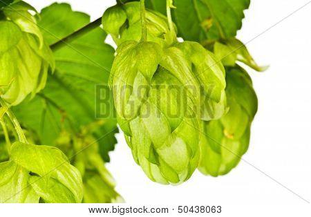 Branch Of Fresh Green Hop