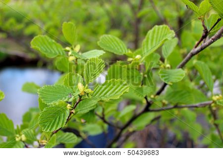 Branch Of Alder In The Spring