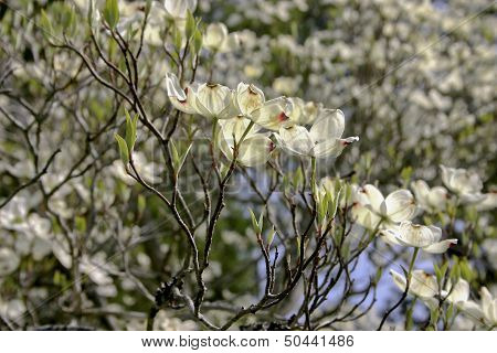 Bountiful Dogwood Flowers