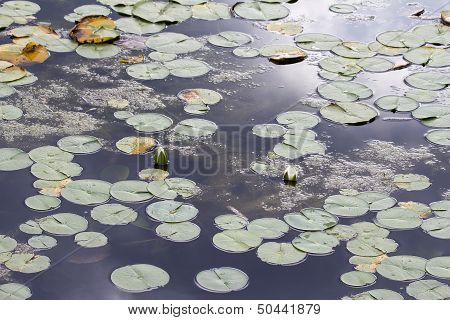 Water Lily With White Flowers