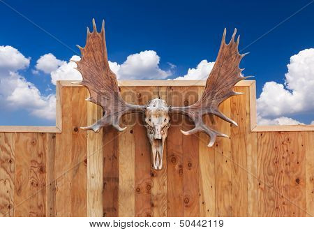 Skull Moose Hung On Wall