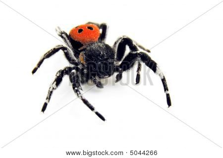 Ladybird Spider - Creeping Toward You!