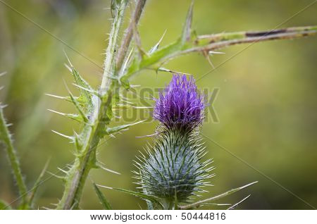 Purple Spear Thistle