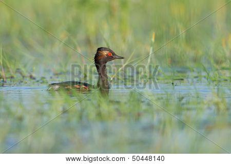 The Black-necked Grebe