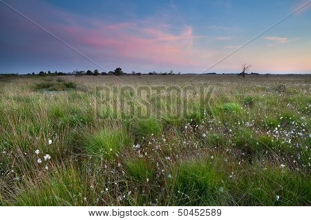 Sunset Over Swamp With Cotton-grass