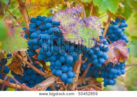 Grape Bunch, Very Shallow Focus