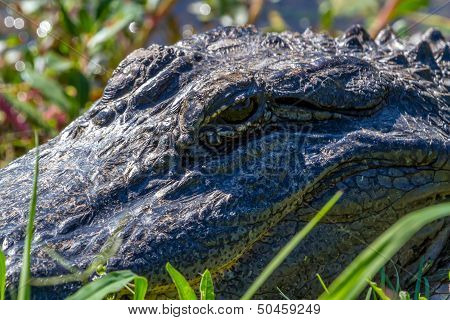 Closeup of Big Wild Alligator Eyes