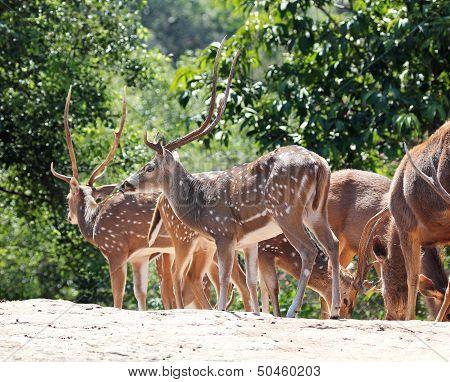 Axis Deer(spotted Deer) & Sambar Deer(philippine Deer) In A Fore