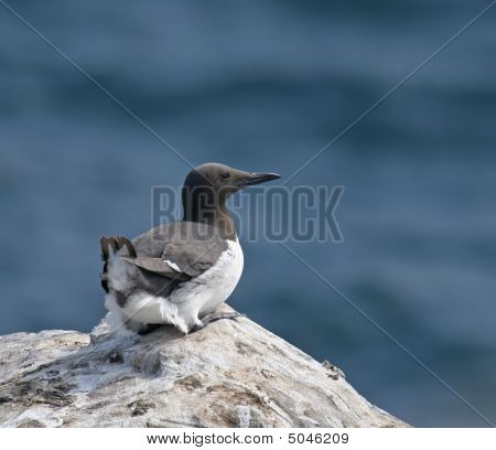 Common Guillemot Resting On Rock