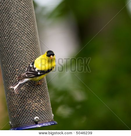 American Goldfinch In Spring