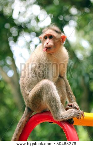 Indian Rhesus Macaque Monkey (macaca Mulatta) With Funny Face