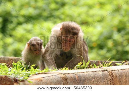 Mother Rhesus Monkey Giving Lessons(teaching) To Her Child