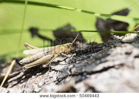Greeny Grasshopper Clinging On Fallen Tree Stem