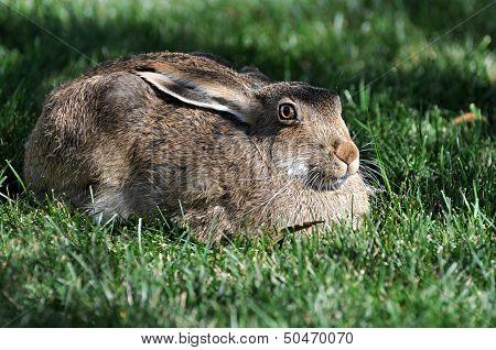 A rabbit on Lawn.