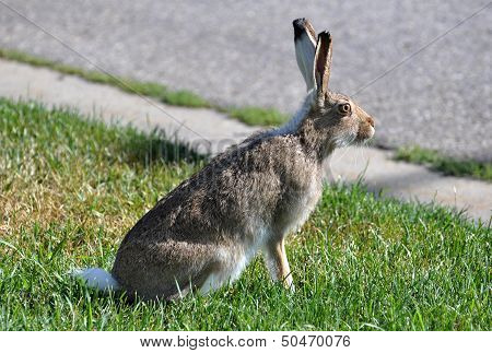 Jackrabbit Sitting by Road