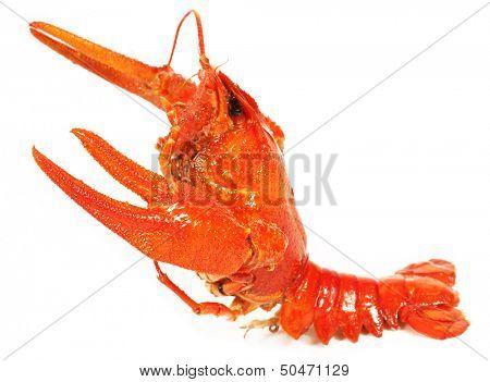 Boiled crawfish close-up. isolated on white background