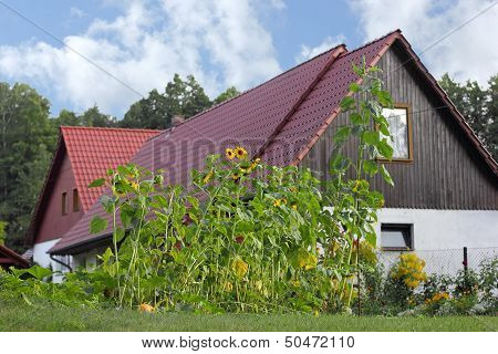 Sunflowers At A Farmhouse In The Spreewald