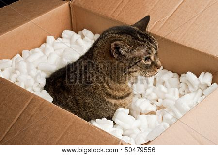 Curious cat in cardboard box