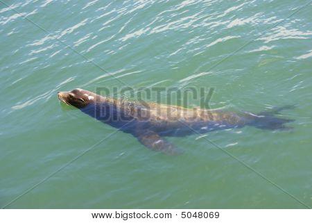 California Sea Lion, Swimming In Harbor