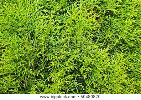 Thuja Branches