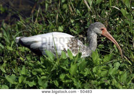White Ibis Everglades State National Park Florida Usa