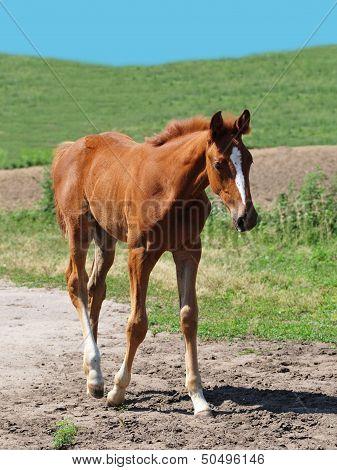 Little Foal Portrait